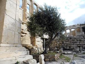 Athens Acropolis olive tree